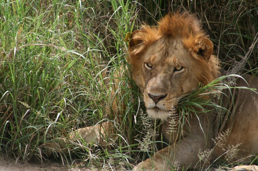 lion_copy